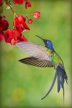 Swallow-tailed Hummingbird (Eupetomena macroura) by Salamandro Pretty Birds, Love Birds, Beautiful Birds, Animals Beautiful, Hummingbird Pictures, Hummingbird Art, Exotic Birds, Colorful Birds, Little Birds