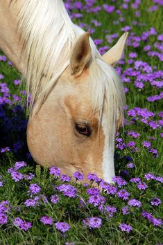 A palomino and purple flowers.two of my favorite things :) Horse Photos, Horse Pictures, Animal Pictures, All The Pretty Horses, Beautiful Horses, Animals Beautiful, Cute Horses, Horse Love, Farm Animals