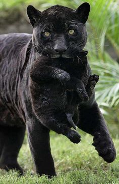 Mama Black Panther with her cub ~ Wild for Wildlife and Nature