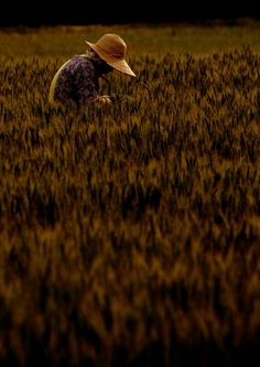 Barley fields, Japan, 2011, by チャジモリ.