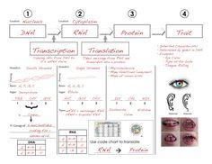 pbs nova dna worksheet nova online teachers student handout 4 cracking the code of life. Black Bedroom Furniture Sets. Home Design Ideas