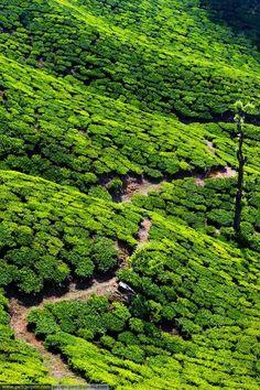 Tea Gardens,Assam,India. #GreenTeaField #Tea