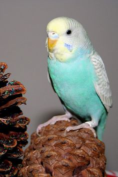 Reminds me of my first parakeet..<3