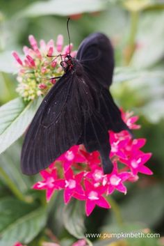 The Pink Rose Butterfly, also known by its scientific name of Pachliopta kotzebuea, can be seen inside the Butterfly Dome, at the RHS Hampton Court Palace Flower Show 2017.