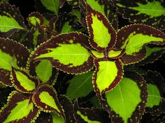 Houseplants That Filter the Air We Breathe Coleus 'Saturn'how To Grow A Coleus Plant: Planting Flowers, Plants, Cool Plants, Foliage Plants, Plant Leaves, Perennials, Dream Garden, Trees To Plant, Shade Plants