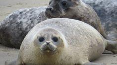 Dat het goed gaat met de zeehondenpopulatie in Zeeland, dat wisten we al. Maar nu weten we, dankzij uitgebreid onderzoek ook hoe dat komt. Ze komen, voor een belangrijk deel, op vakantie in onze provincie uit Engeland.
