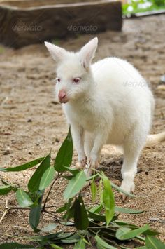 albino wallaby ... Albino, animal, australia, australian, baby, beautiful, close, countryside, cute, fauna, fur, grass, grey, head, hop, joey, jump, kangaroo, little, mammal, marsupial, mother, native, nature, nuture, outback, outdoor, outdoors, parent, park, pink, portrait, pouch, spring, summer, tail, tourism, vertical, wallaby, white, wild, wilderness, wildlife, young, zoo