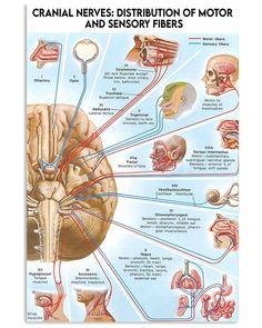 Brain Anatomy, Human Anatomy And Physiology, Medical Anatomy, Dental Anatomy, Cranial Nerves Anatomy, Anatomy Study, Speech Language Pathology, Nursing Students, Nursing Schools