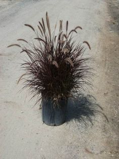Pennisetum setaceum, or Purple Fountain Grass, is one of the most popular ornamental grasses due to its striking dark foliage color and texture. Red Fountain Grass, Pennisetum Setaceum, Wholesale Nursery, Backyard Plants, Ornamental Grasses, Drought Tolerant, Fountain Grass