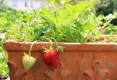 strawberry pot