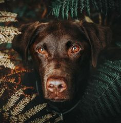Ziggy 500px Chocolate Labrador Retriever