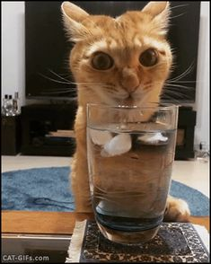 CAT GIF • Close up Ginger Cat is very thirsty drinking in water glass