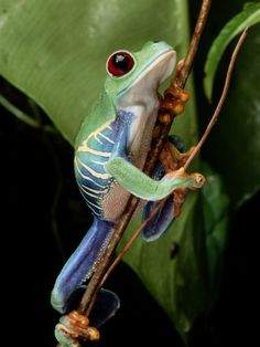 A Red-Eyed Tree Frog Climbing a Vine Photographic Print Funny Frogs, Cute Frogs, Types Of Frogs, Amazing Frog, Red Eyed Tree Frog, Frog And Toad, Reptiles And Amphibians, Fauna, Animal Pictures