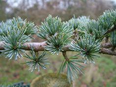 Cedrus libani (Le Cèdre du Liban, de la famille des Pinaceae)