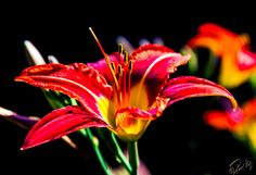 Extreme Contrast Orange Lily enhanced for detailed by Photo841