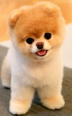 Meet Boo, the world& cutest dog. Meet Boo, the world& cutest dog. The post Meet Boo, the world& cutest dog. appeared first on Pink Unicorn. Cute Teacup Puppies, Cute Dogs And Puppies, Baby Dogs, Doggies, Teacup Dogs, Fluffy Puppies, Teacup Animals, Pet Dogs, Puppies Puppies