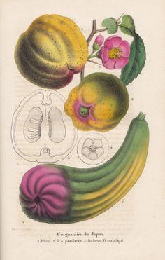 Free Vintage Botanical Printable Chaenomeles