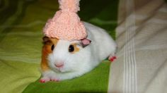 <b>The Spring Guinea Pig fashion line is out and I have all the latest trends in Guinea Pig hats here for you.</b>