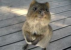 I've just learned of these precious animals on Pinterest: The quokka, the only member of the genus Setonix, is a small macropod about the size of a domestic cat. Like other marsupials in the macropod family, the quokka is herbivorous and mainly nocturnal. Wikipedia