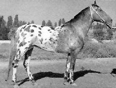 karabair horse.  Uzbekistan and northern Tajikistan