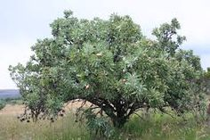 Protea caffra - Google Search Trees To Plant, Shrubs, Google Search, Plants, Planters, Plant, Planting