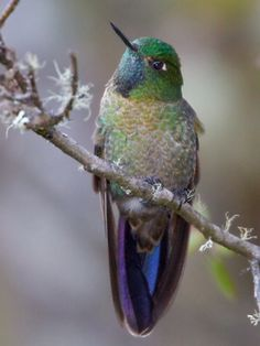Scaled Metaltail, Met-allura aeneocauda: BO/ PE, photo by Glenn Bartley, www.glennbartley.com