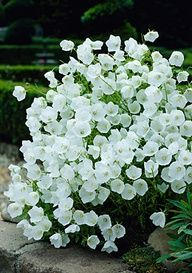 White Clips Bell Flower - gorgeous, their slight translucencyWhite Clips is the white version of the famous Blue Clips; they make a great display together. 8 to 12 inches tall. (Campanula carpatica   Zones:     3, 4, 5, 6, 7, 8, 9        Plant Size:     8-10 tall, Up to 18 wide        Light:     Full Sun, Mostly Sunny, Half Sun / Half Shade        Bloom Time:     Early to late summer