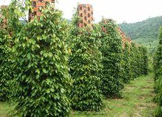 Перец горошек: три специи с одного куста - Вкусный Блог growing Kampot pepper in Cambodia