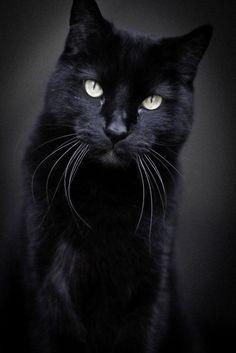 SUCH A BEAUTIFUL KITTY!!!!  <3  | BℓαᏣƙ =^.^= CÅt§