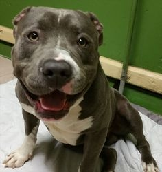 A Very Happy Pit Bull Needs A Home. Share and get updates on this dog athttp://www.animalsfromtheshelter.com