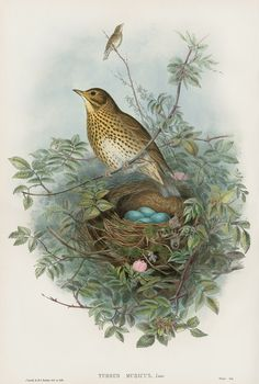 Turdus Musicus Thrush from Bird Chicks, Nests & Eggs by John Gould