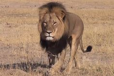 Cecil The Lion is dead ! RIP Cecil the lion!