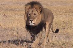 Cecil The Lion is dead ! RIP Cecil the lion!