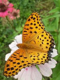 Yellow and Black Spotted Butterfly
