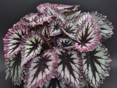 Steve's Leaves, Inc.   Buy Rare and Exotic Tropical Plants Online ...