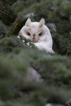 Albino Long Eared Owl #owls