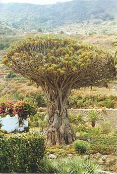 Dragon Tree - #Icod de losVinos, #Tenerife #drago