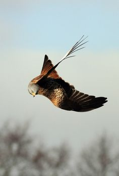 h4ilstorm:  Red Kite (by Jonsfotos)