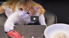 Japanese Sushi Chef Creates Epic Sushi Dinner For His Cats