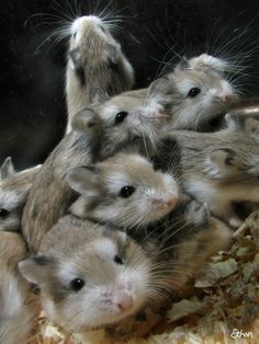 Dwarf Hamsters- really want one!!!