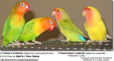 Two Fischer's Lovebirds to the left and two Peachfaced Lovebirds to the right(one pied and one lutino)