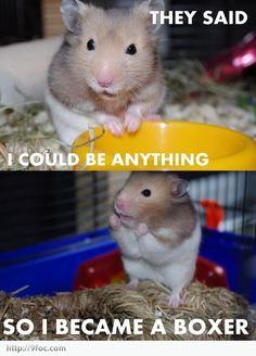 funny hamsters | funny_hamster_became_a_boxer