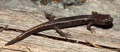 Ensatina Salamander | Ensatina eschscholtzii | Oregon Caves National Monument & Preserve, Oregon (pinned by haw-creek.com)