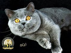 Probably the oldest English breed of cat, the British Shorthair can trace its ancestry back to the domestic cats of Rome.