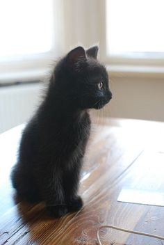 Tiny black kitten gazes out at the world, so hopeful.