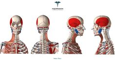 Mięsień szeroki szyi (platysma) #anatomy #anatomy3d #fizjopassion #muscle #education