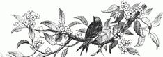 Black Bird Drawing  This vintage illustration features a black bird on a tree limb surrounded by leaves and flowers.