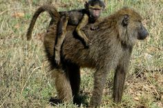 Baby baboon hitching a ride on mama in Serengeti National Park