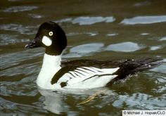 Common Goldeneye, Identification, All About Birds - Cornell Lab of Ornithology