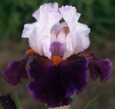 Comanche Acres Iris Gardens - Gower, MO - Sharpshooter Tall Bearded Iris